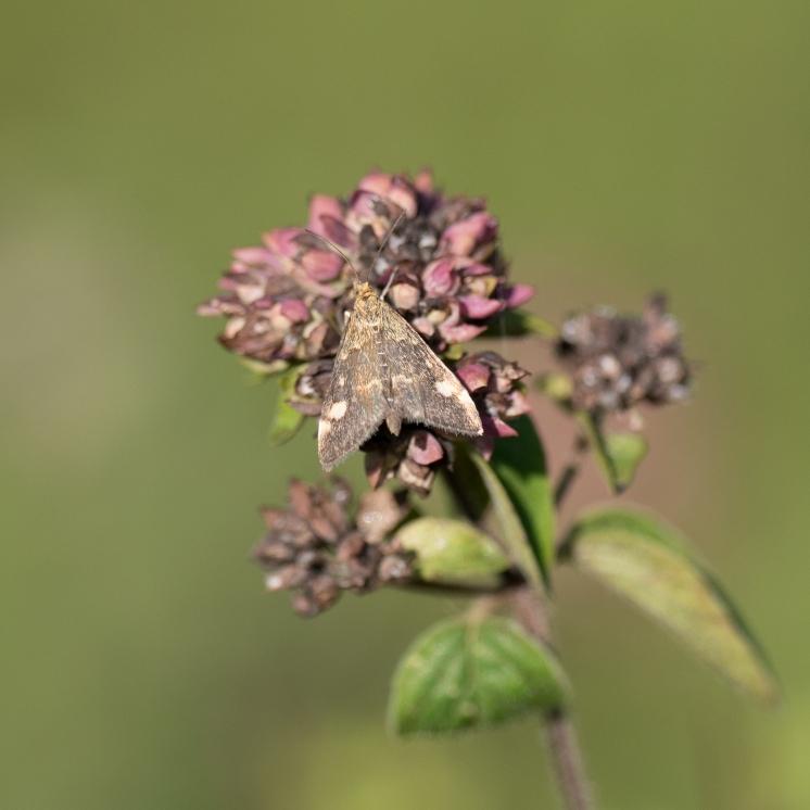 Mint moth on marjoram or oregano