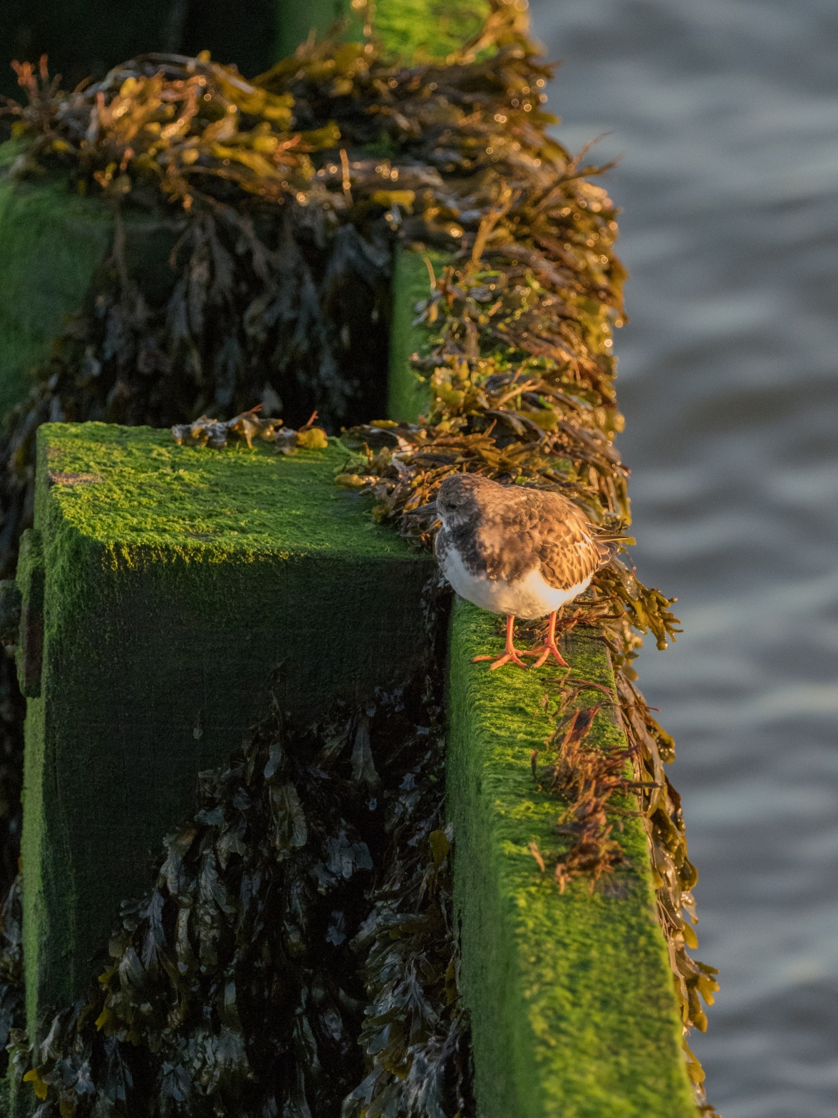 Turnstone on a groyne
