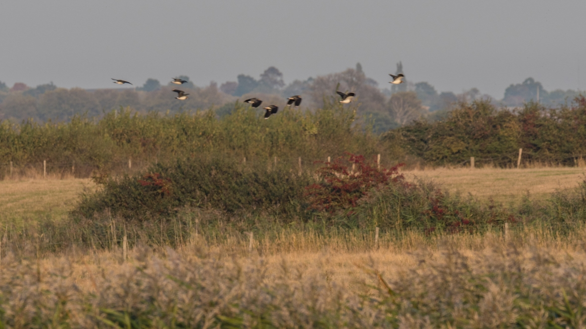 Lapwing flight
