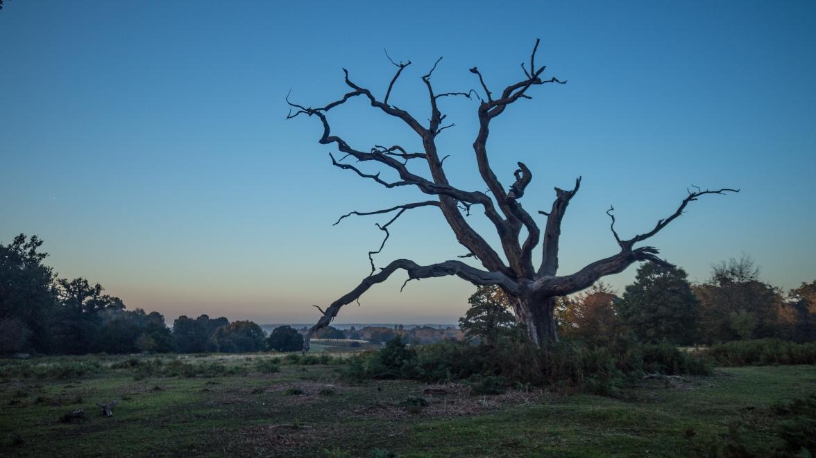 Dying oak in dying light