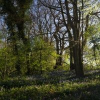 Early Spring woodland flowers